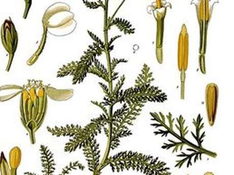 Journée découverte des plantes sauvages médicinales