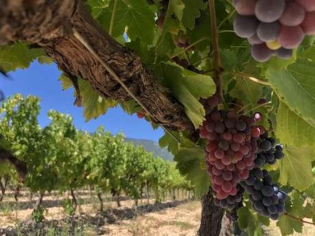 Une balade au coeur des vignes de la cave de Sylla