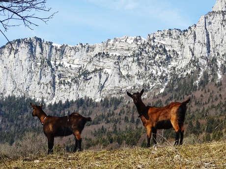 Balade avec les chèvres et visite d'une chèvrerie