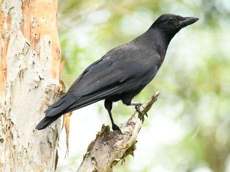 Découverte ornithologique au Parc des Grandes Fougères - Caledonia Birds