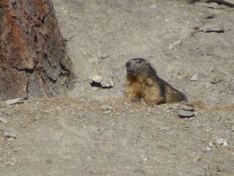 Marmottes et marmottons