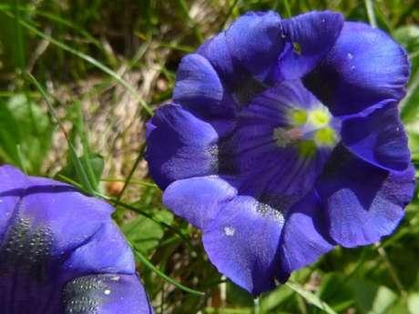 Randonnée Pédestre journée - Fleurs et Plantes comestible en Belledonne