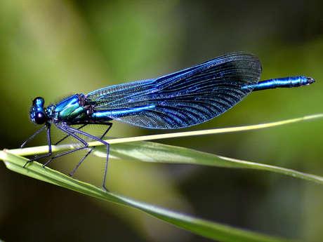Sortie nature : découverte des libellules