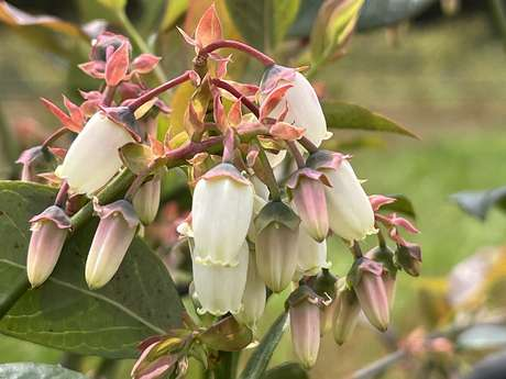 Blueberries of the Trimoulet