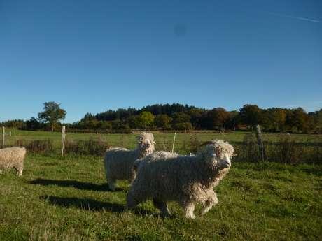 Ferme Mohair de la Combraille : à la découverte des chèvres angoras