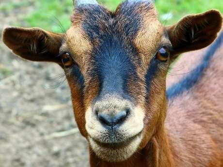 Bienvenue à la chèvrerie Myrtille et Compagnie