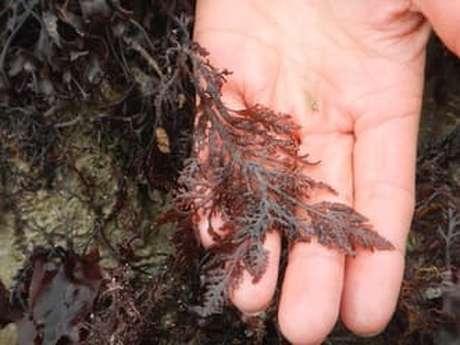 Découverte et cuisine aux algues