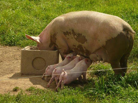 SCEA Armofil - Viande porcine - Vente directe