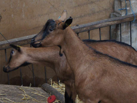 Noémie's goats: Farm goat cheese