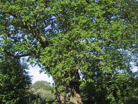 Chêne du Pont Blanc
