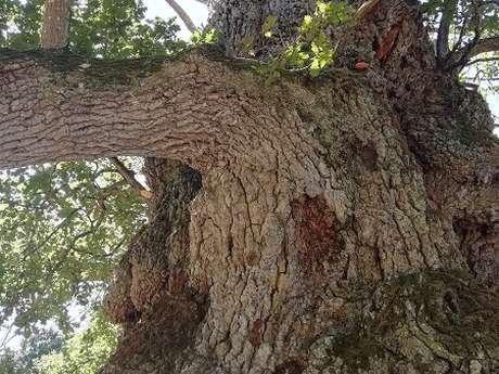 Le Chêne à Guillotin, millénaire !