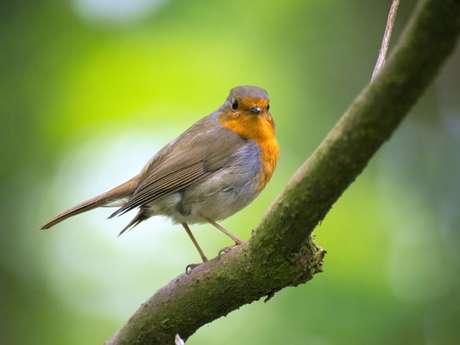 Balade nature Les oiseaux des jardins