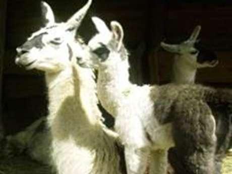 Visit among the herd of llamas