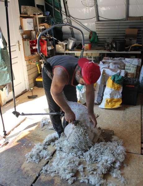 Tonte des chèvres Angora au Mohair des Petites Roches