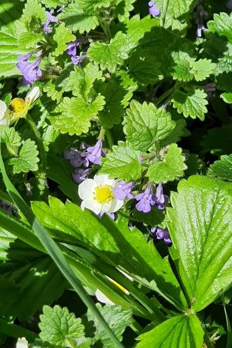 Sortie plantes sauvages au Faouët