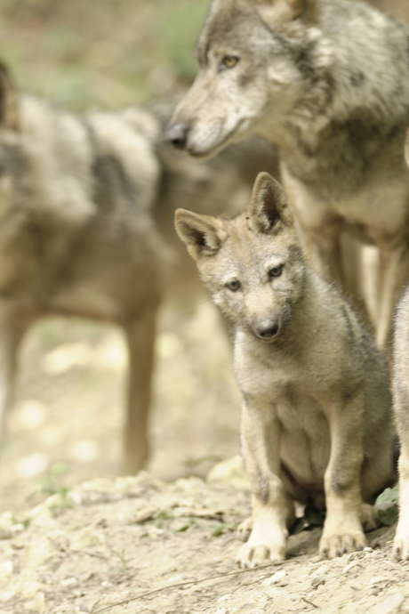 Soirée nocturne des loups