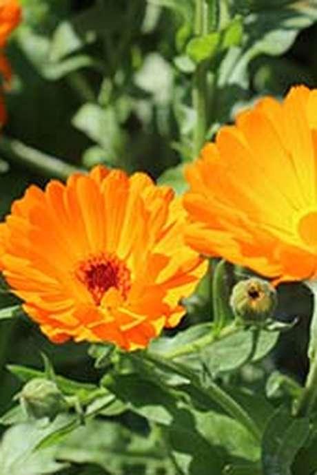 Atelier herboristerie : Le calendula dans tous ses états