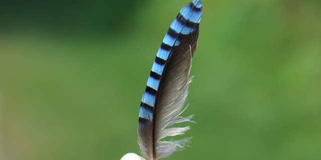 Les mille et une plumes de la Dombes