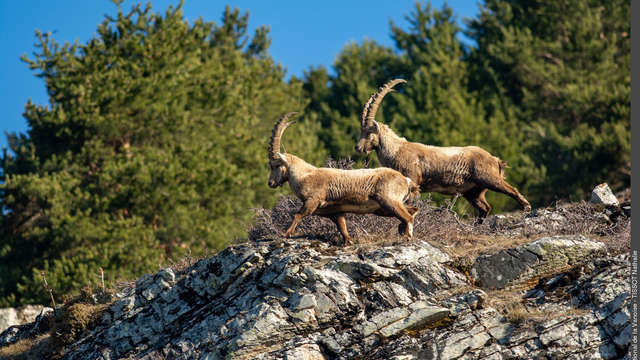 Meet the Alpine ibex