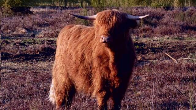 Des vaches Highland dans les tourbières!