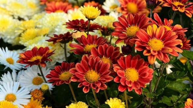 Foire aux Chrysanthèmes