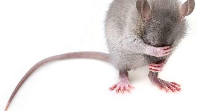Théâtre : La Chasse aux rats