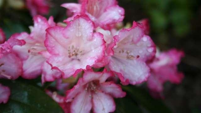 Journées des Rhododendrons aux jardins d'Ewen
