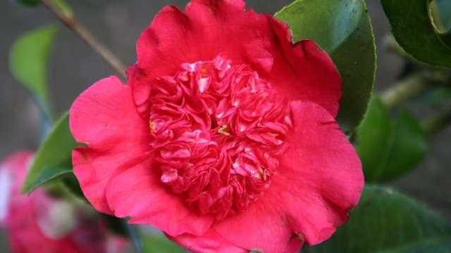 Journées des camelias à floraison printanière aux jardins d'Ewen