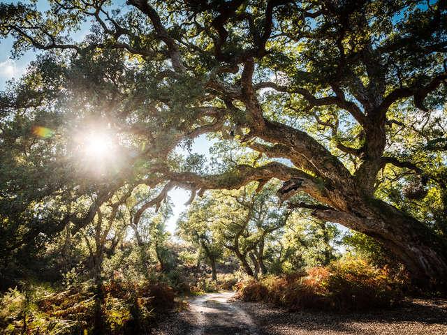 Arbre Remarquable - Le chêne liège