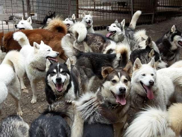 Visite du parc nordique et de ses chiens de traîneaux