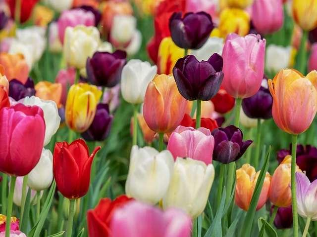 Opération Tulipes contre le cancer