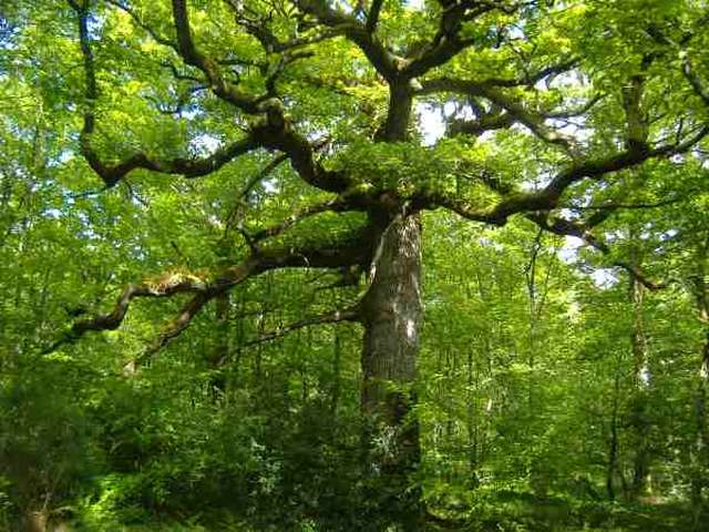 Le Chêne des Hindrés