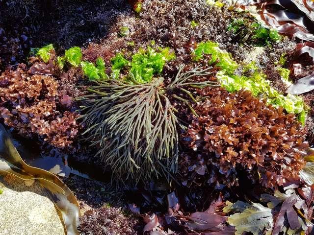 Excursions « Les algues, nouvelles saveurs marines »