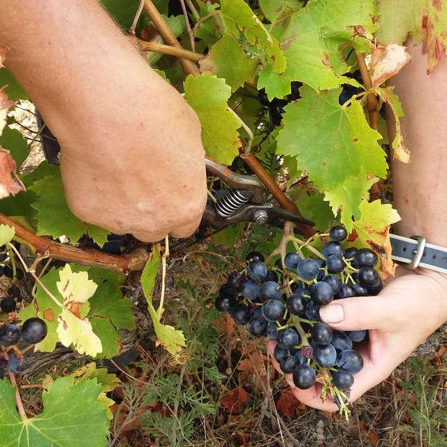 Die Weinlese am Weingut Domaine Beauvalcinte kennelernen