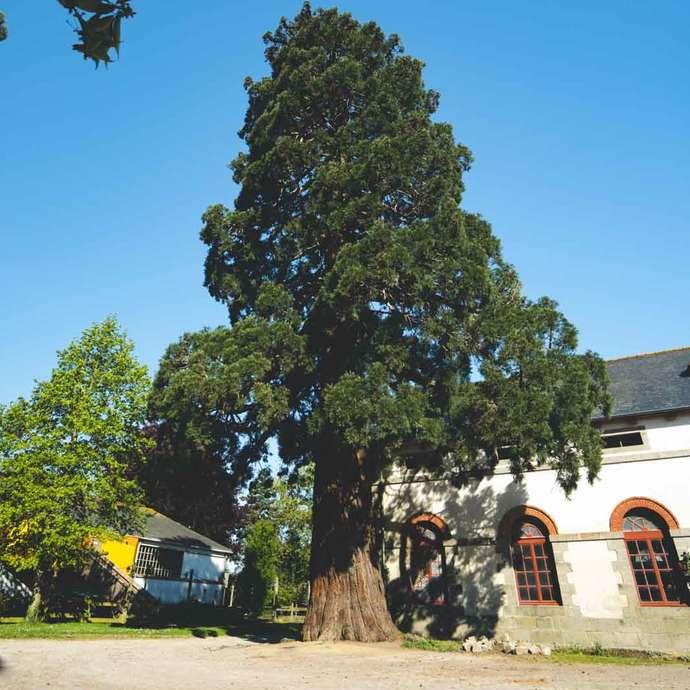 Séquoia géant (Sequoiadendron giganteum) -  Près de 130 ans