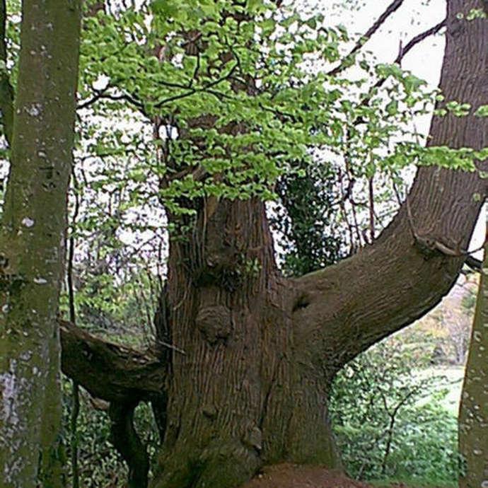 Châtaignier (Castanea sativa) - 160 ans
