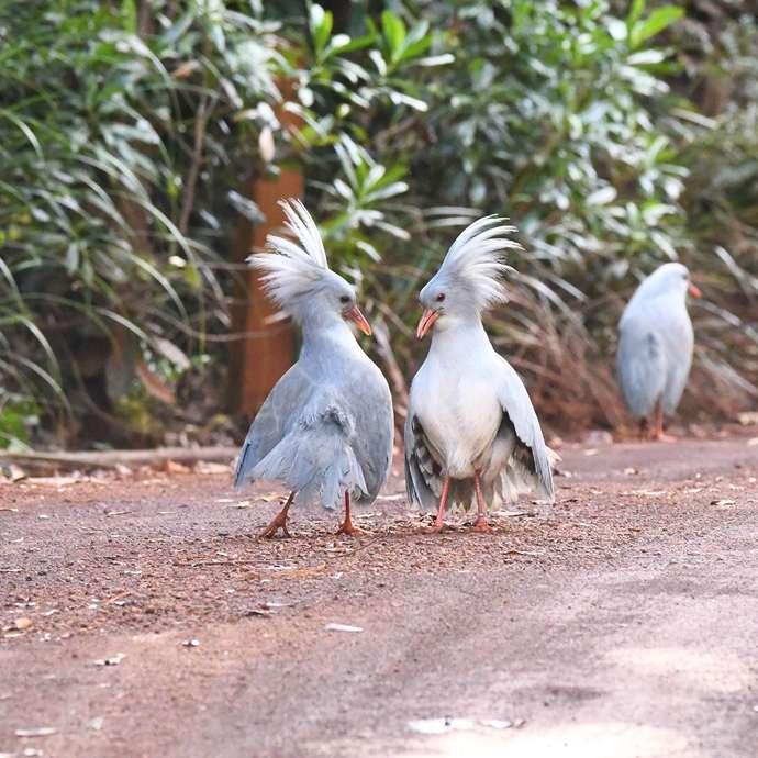 Découverte ornithologique et botanique du Parc Provincial de la Rivière Bleue - CALEDONIA BIRDS