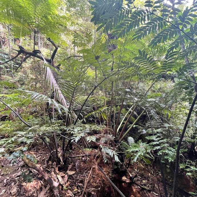 Fougères royales à tiges vertes et noires