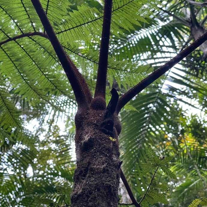 Fougère arborescente à cœur marron